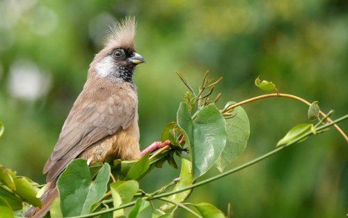 bird watching in Uganda - bird watching in semliki - birding in mountain rwenzori