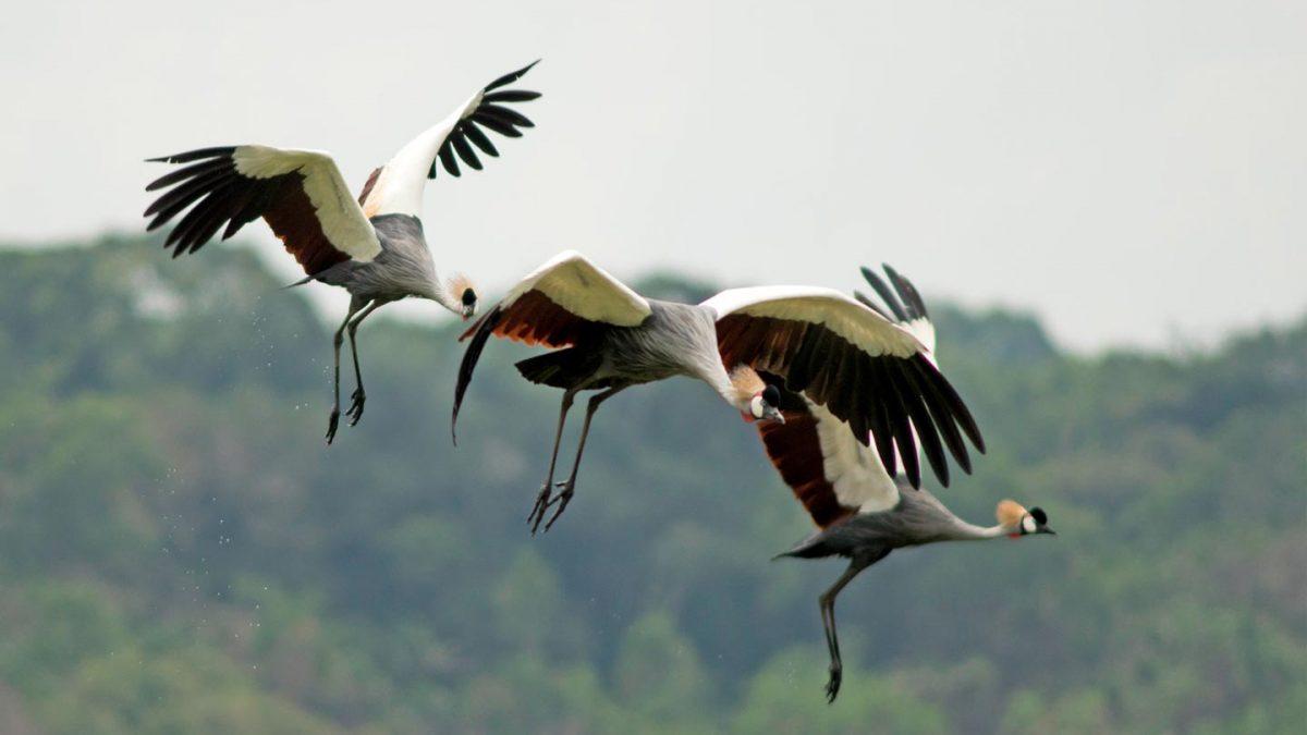 Uganda National Parks Adventure - ugandan birds- Lake Bunyonyi