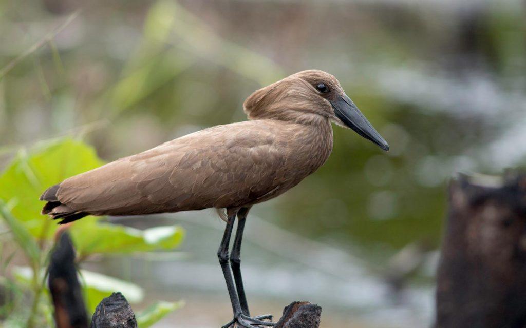 birds in uganda - birds in kidepo