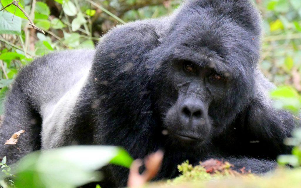 gorillas in Ruhija sector