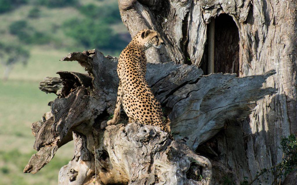 cheetah in kidepo