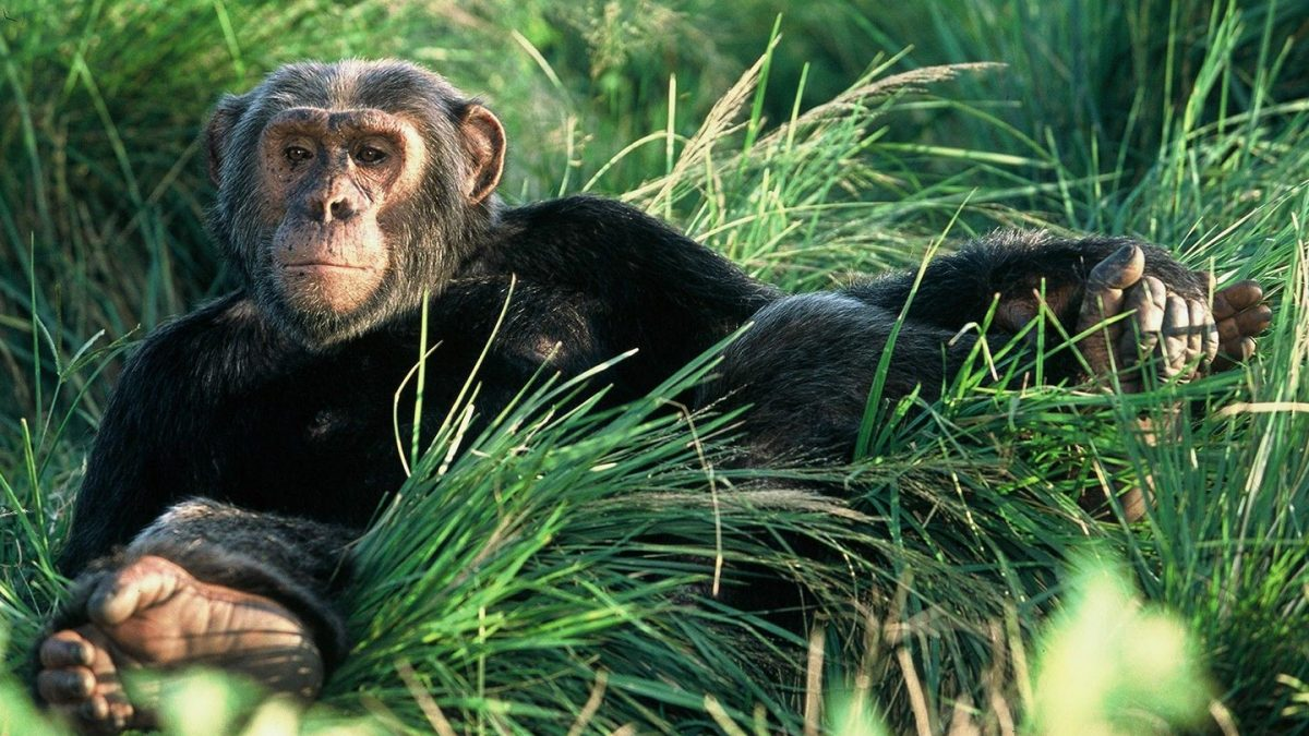 Uganda Gorilla Safari and Chimpanzee Trekking