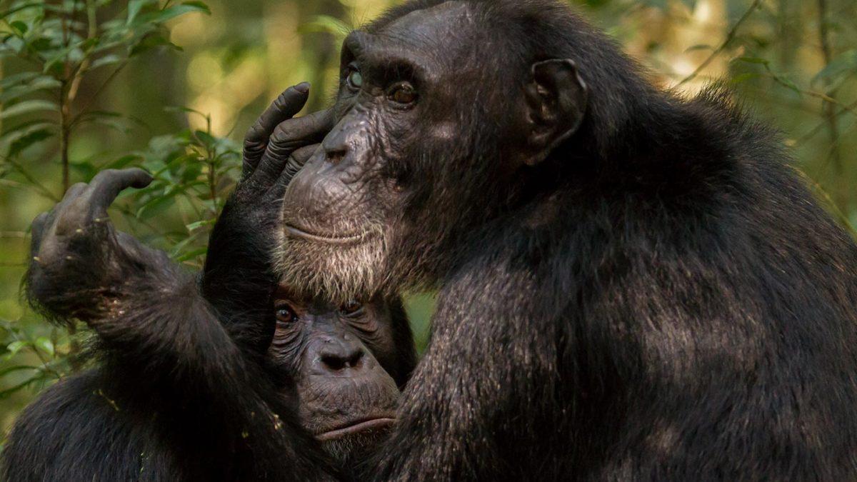 chimps of Kibale - chimpanzees