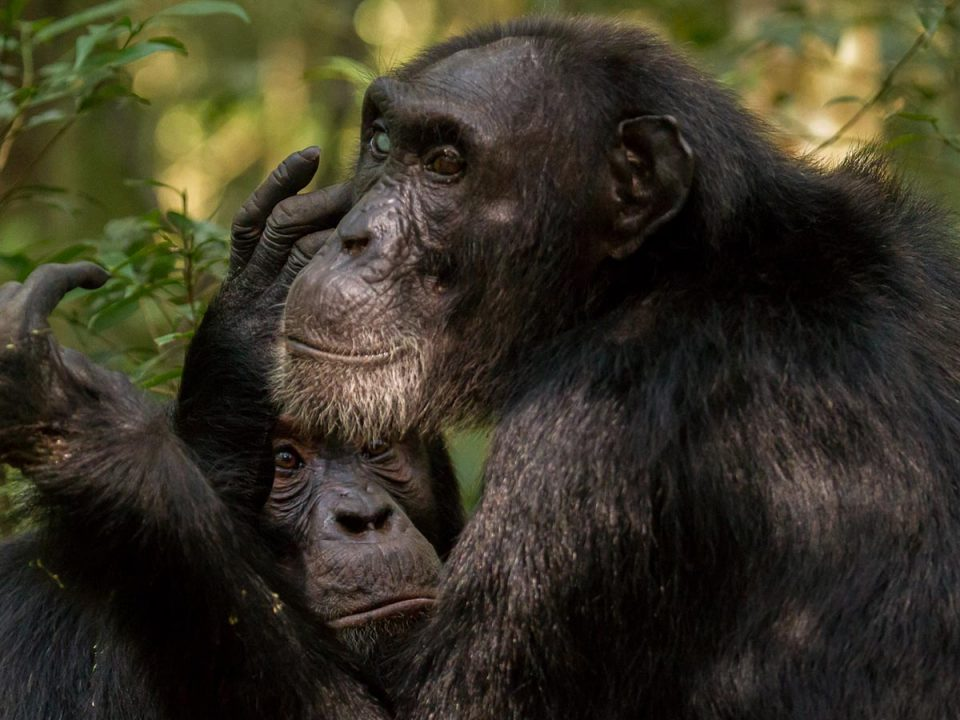 chimps of Kibale - chimpanzees