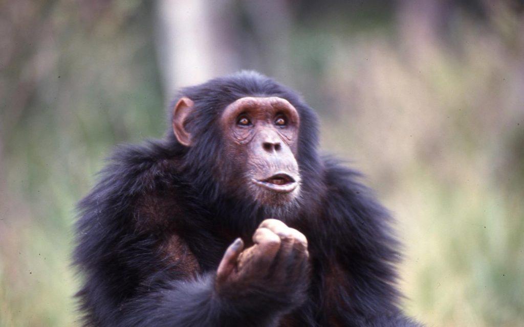 chimpanzee trekking in semliki national park