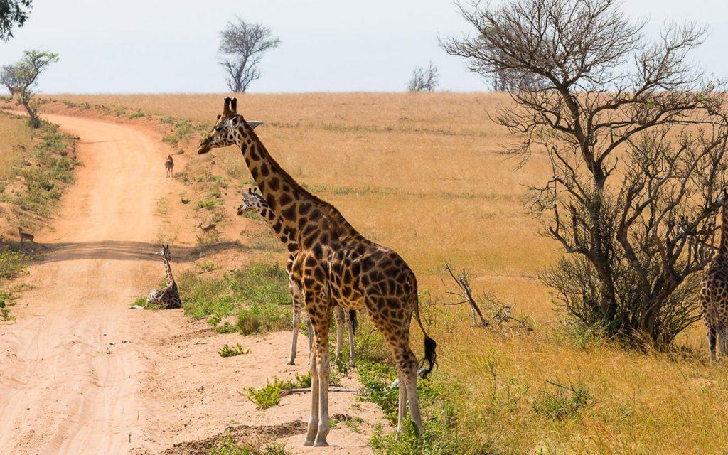 giraffes in lake mburo