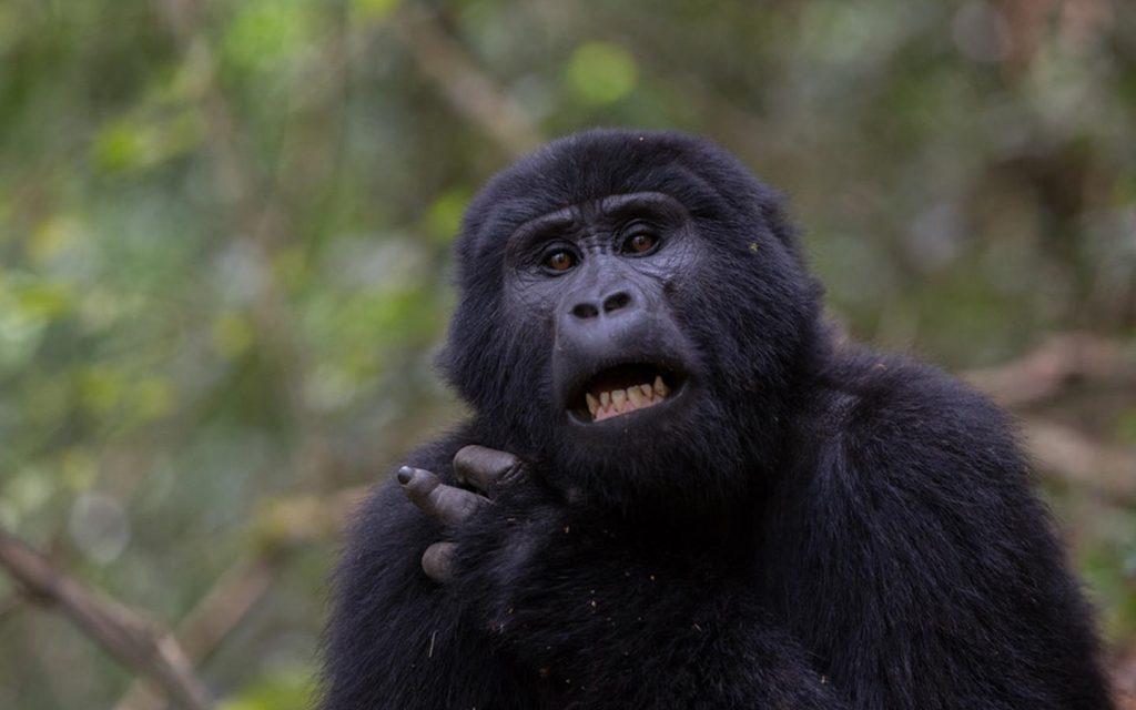 gorillas in nkuringo