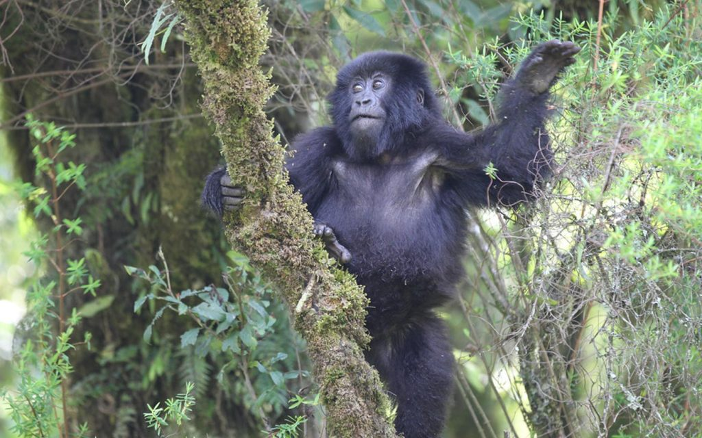 gorillas in bwindi - gorillas