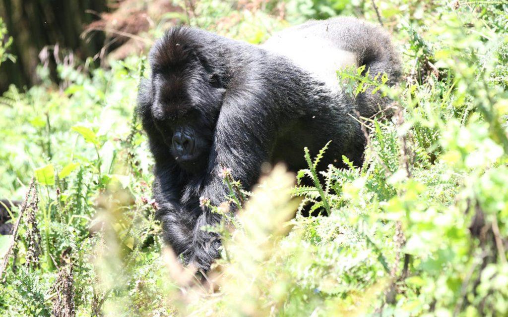 gorillas in Uganda - gorillas of rushaga sector