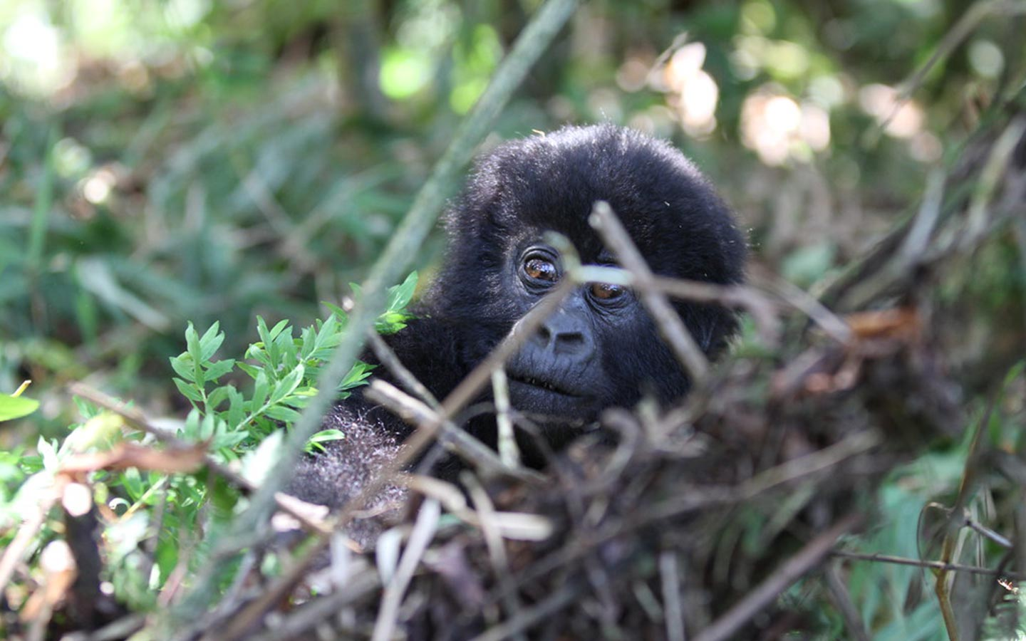 Gorilla Safaris with a Uganda Tour Operator - gorillas