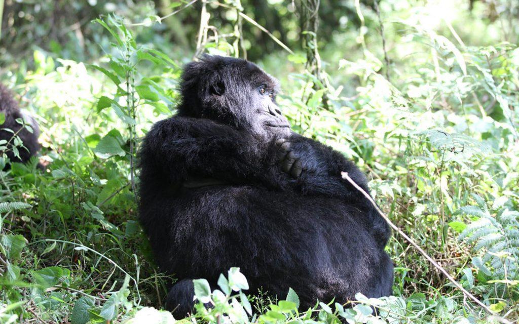 bwindi impenetrable national park-Gorilla Trekking Uganda