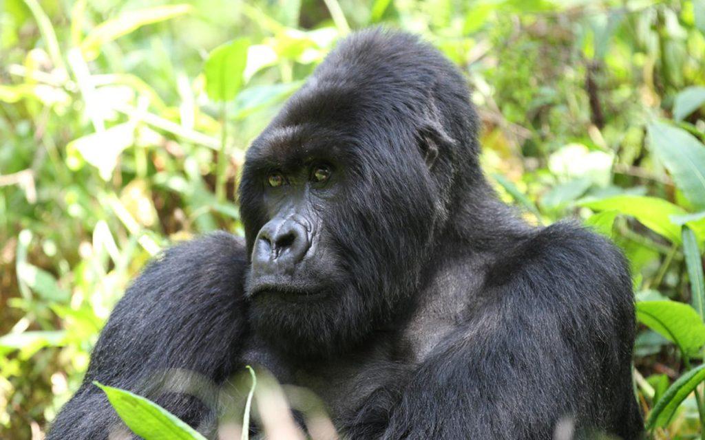 mountain gorillas in Mhgahinga Forest