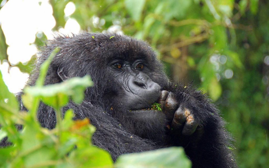 gorillas in bwindi impenetrable-gorillas