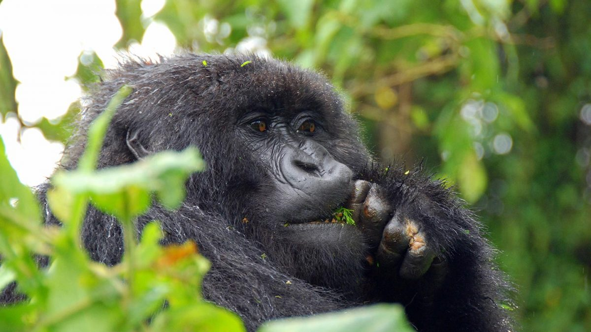 gorillas in bwindi impenetrable - gorilla trekking in Uganda