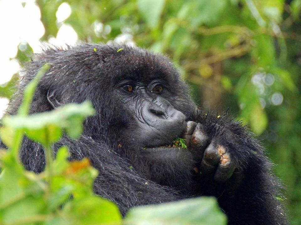 gorillas in bwindi impenetrable - gorilla trekking in Uganda