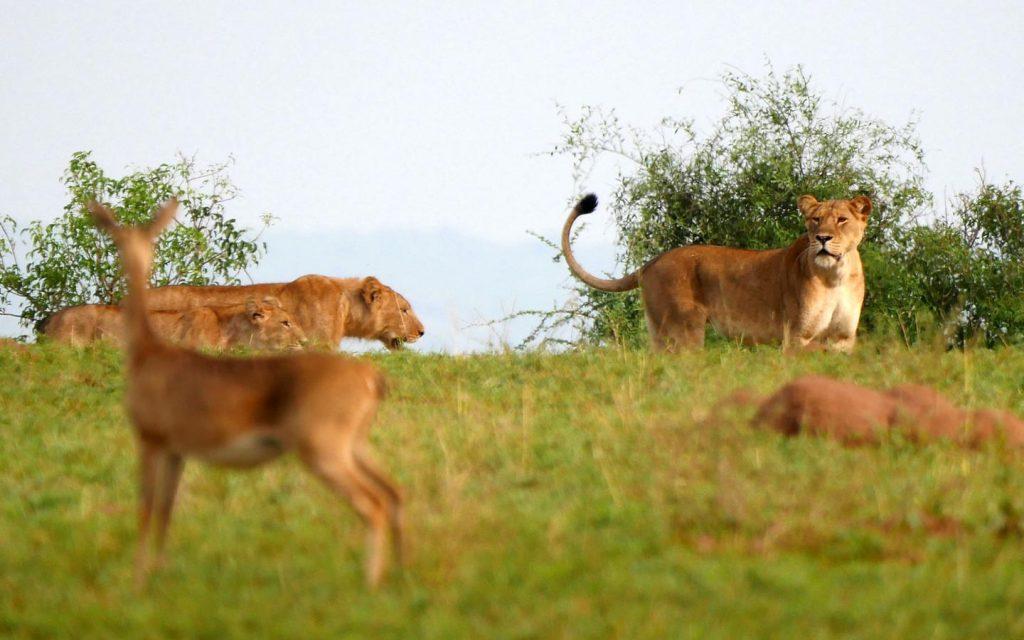 Murchison Falls National Park-Game drives in Uganda
