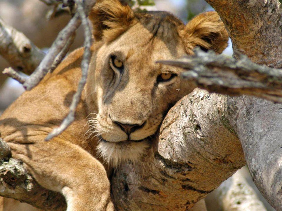 Uganda- tree climbing lions queen