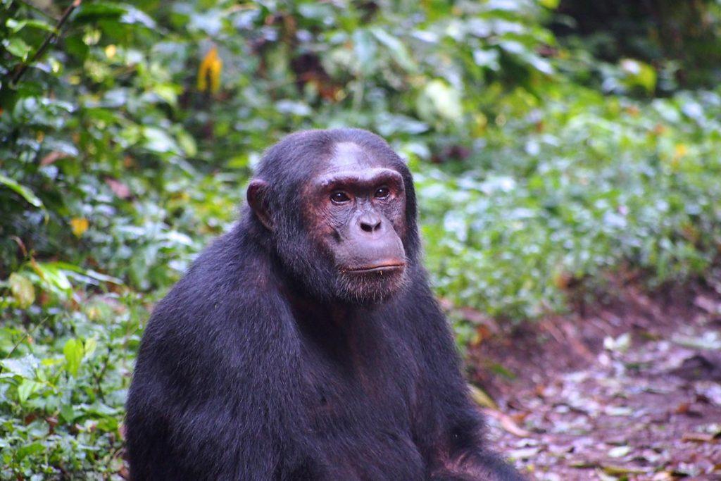 kibale forest national park chimpanzees