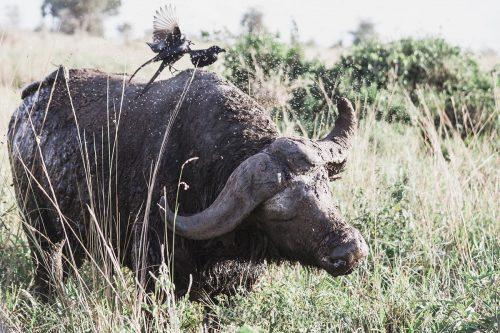 buffalos kidepo valley national park