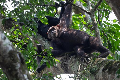chimpanzee tracking in kibale forest national park