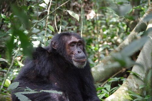 chimpanzee in kibale forest national park - chimpanzee tracking safari