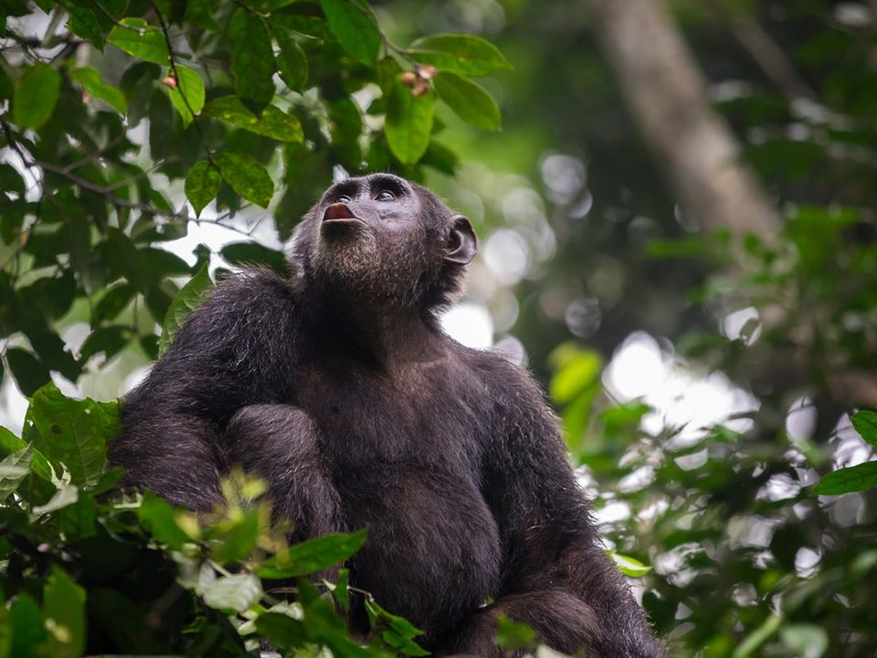 chimpanzee in kibale forest