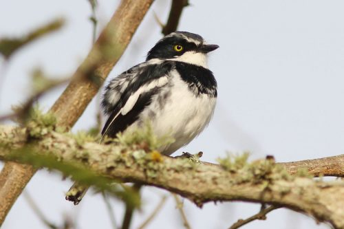 Chinspot-Batis-Lake-Mburo-National-Park-Uganda