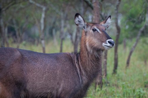 waterbuck in lake mburo national park