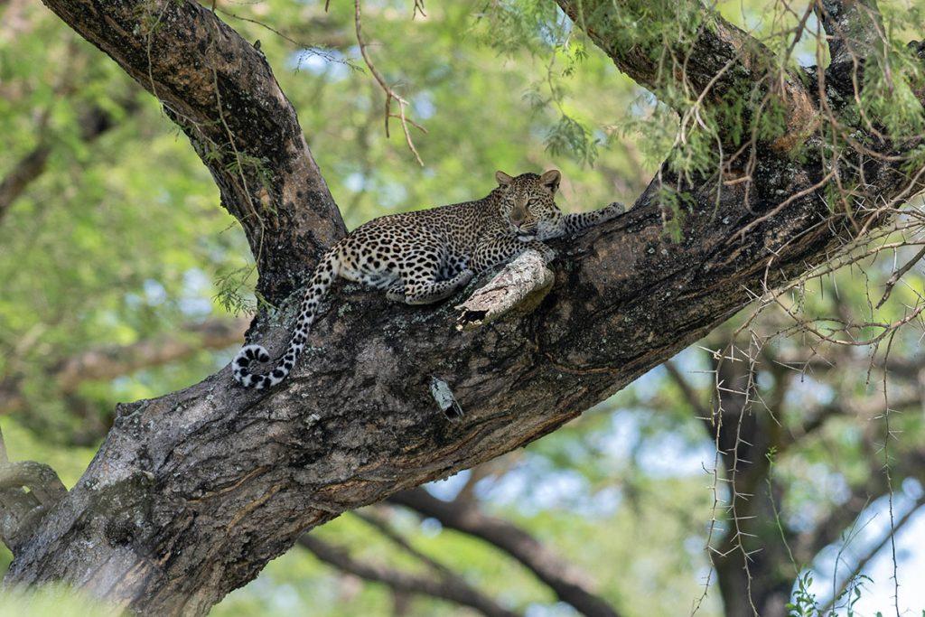leopards in murchison falls national park - Uganda Gorilla and Wildlife Safari