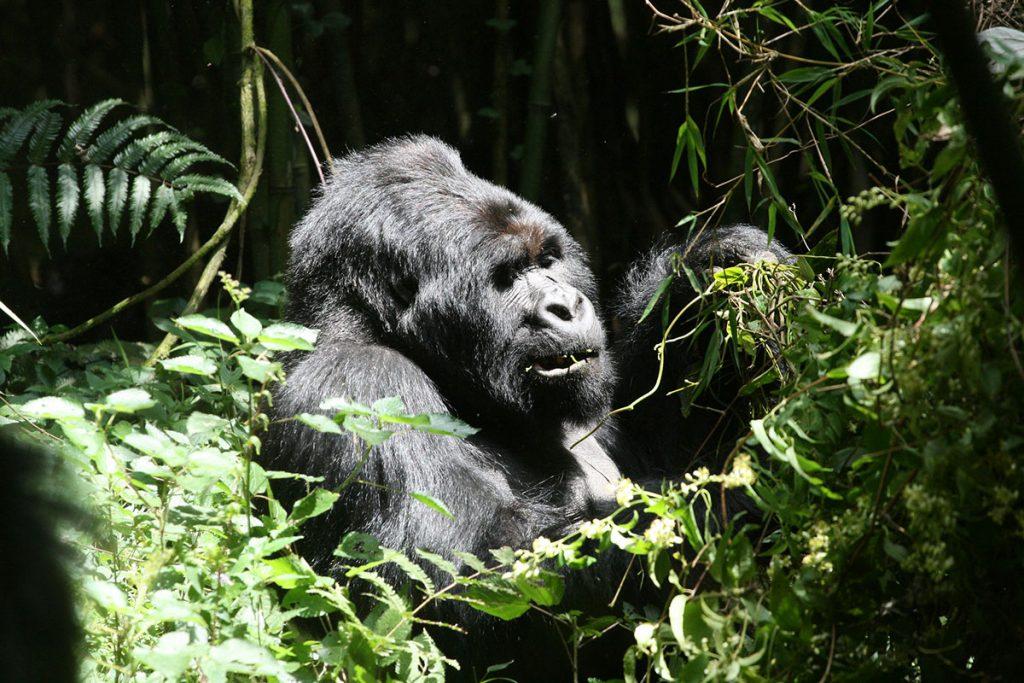 Mountain gorillas in Mgahinga Gorilla National Park