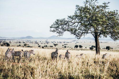 Zebras in kidepo valley national park - Uganda Safaris - game drives in Uganda