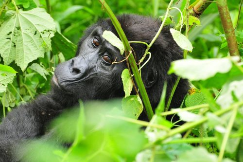 13 Days Uganda Gorilla and Chimpanzee Safari