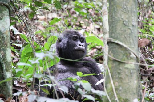 gorillas of bwindi impenetrable forest