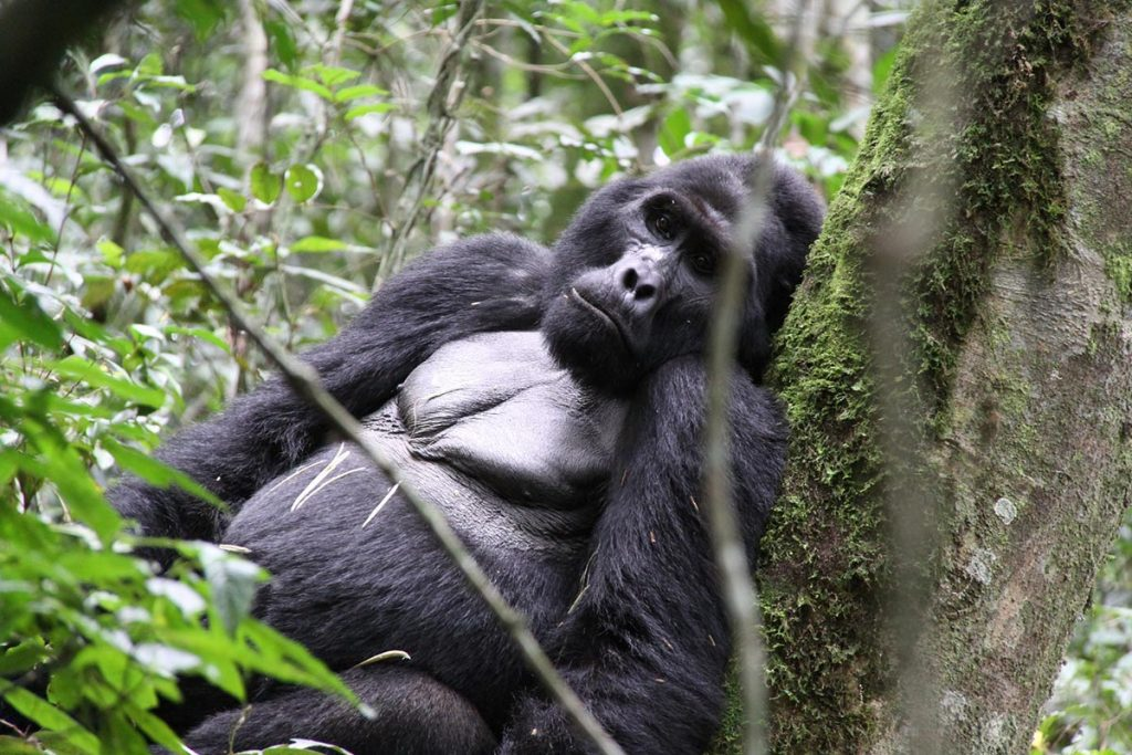 gorilla resting in bwindi - gorilla flying safari