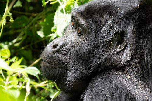 Uganda gorillas tracking safaris