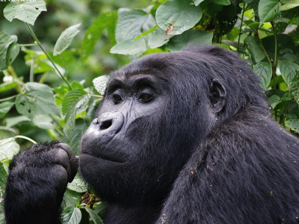gorillas in bwindi impenetrable national park
