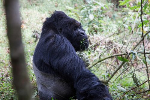 gorillas in bwindi forest - gorillas in Mgahinga Gorilla national park