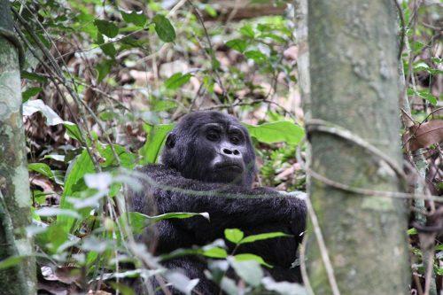 mountain gorillas in bwindi impenetrable