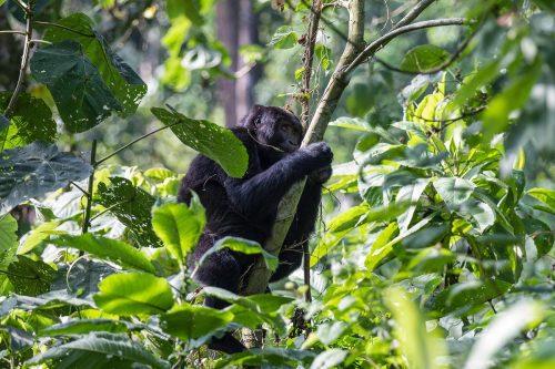 african safari tours, can lions climb trees, do lions climb trees, safari tour, safari trip, rwanda gorilla trek, gorilla travel, bujagali falls, gorilla safari, rwanda gorilla trekking