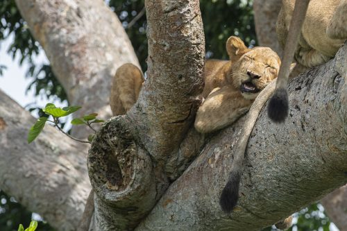 tree climbing lions in kibale national park