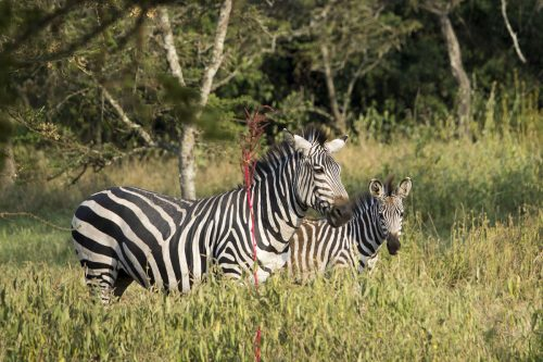 zebras in lake mburo - wildlife safari