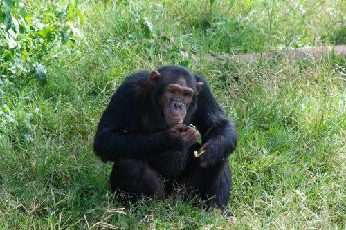 chimpanzee in ngamba