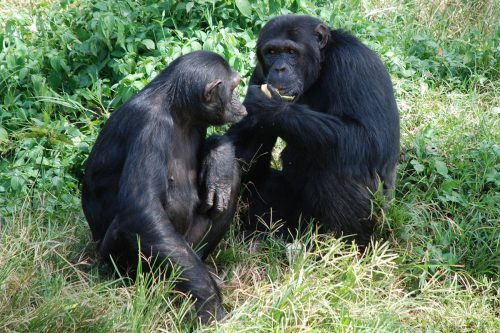 chimps in Ngamba Island