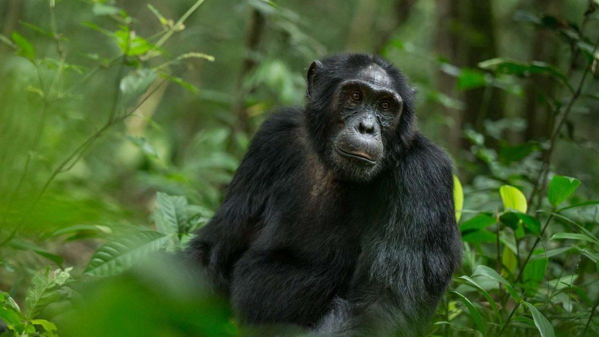 chimpanzee in kyambura gorge